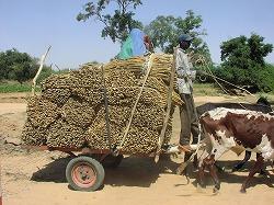 ミレットを運ぶ牛車