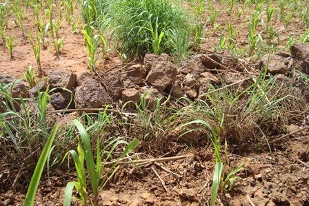 Diguette  et plantation Andropogon a Tamponga.jpg